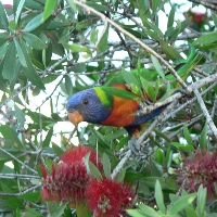 Flowering Bush with Lorikeet